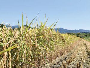 もち米圃場